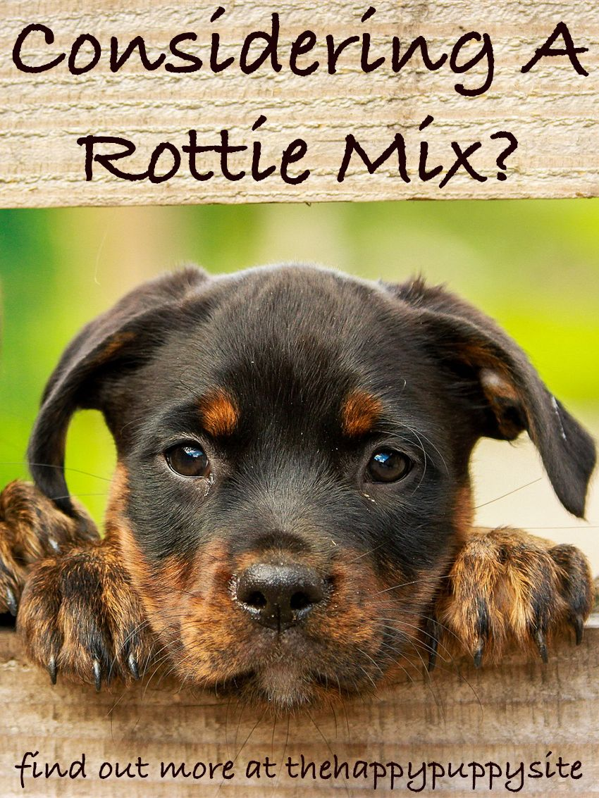German Shepherd Rottweiler Mix Breed Facts Information Pets