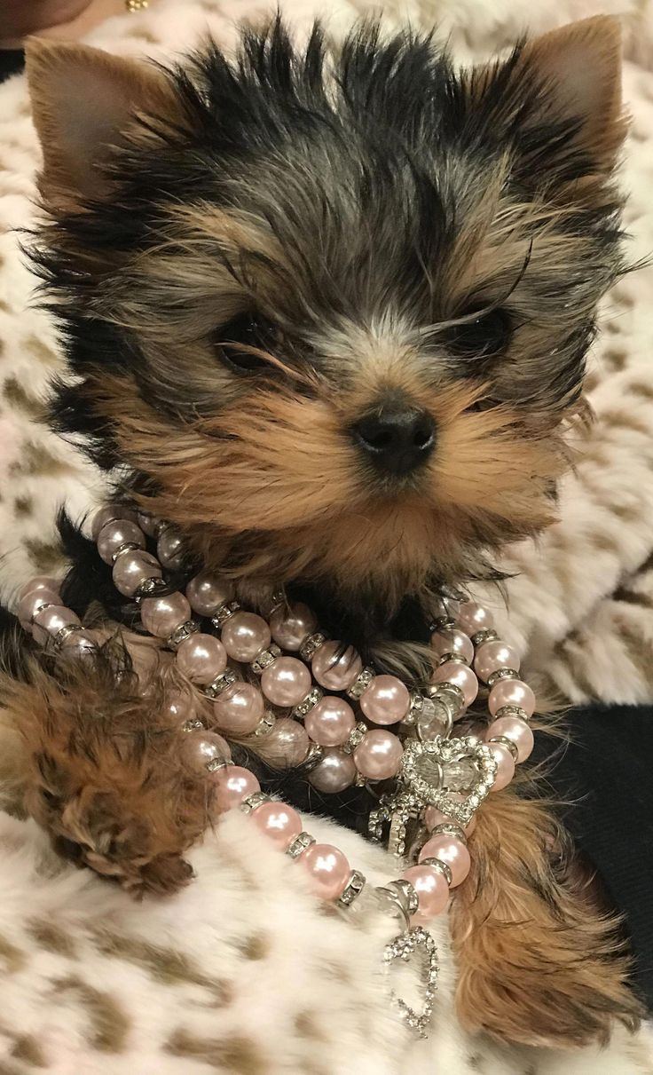 Receive great suggestions on yorkshire terriers. They are