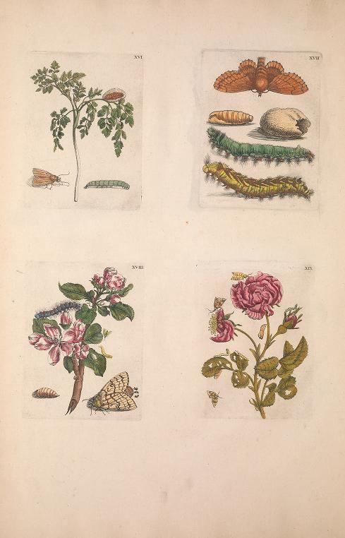 1730 - De Europischen insecten : naauwkeurig onderzogt, na't leven geschildert, en in print gebragt door by Merian, Maria Sibylla, 1647-1717; Marret, Jean
