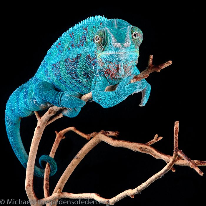 ️ ༻ ༺ The Panther Chameleon (Furcifer Pardalis) Is A