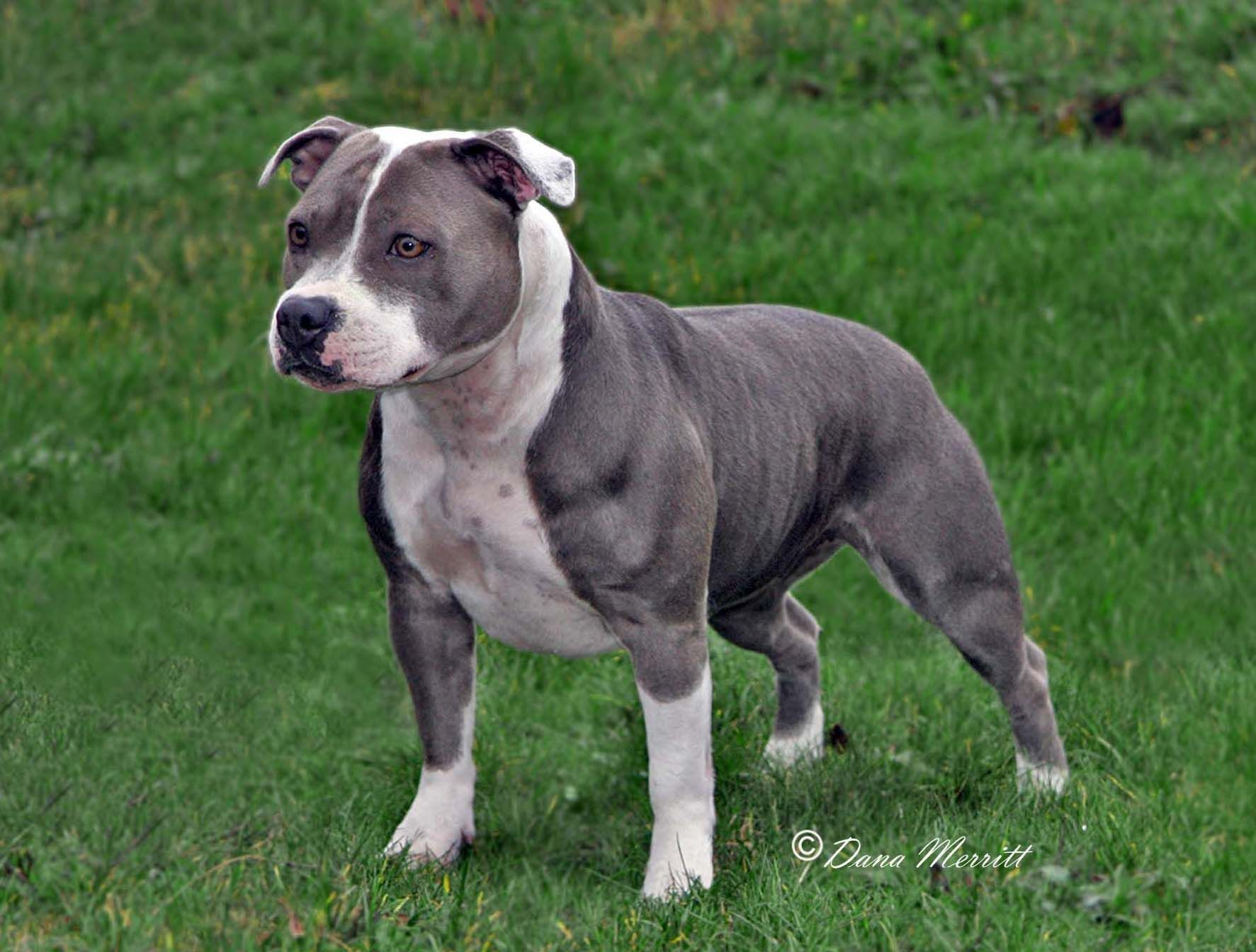Pin By Marcus Dittrich On Dogs Terrier Pitbull Terrier Bull