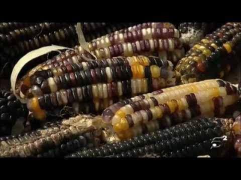 La contaminación de los transgénicos de Monsanto en el maíz mexicano - YouTube