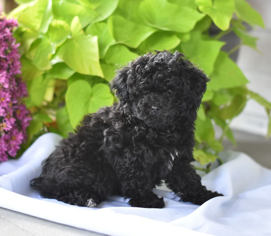 Miniature poodle puppies for sale with images