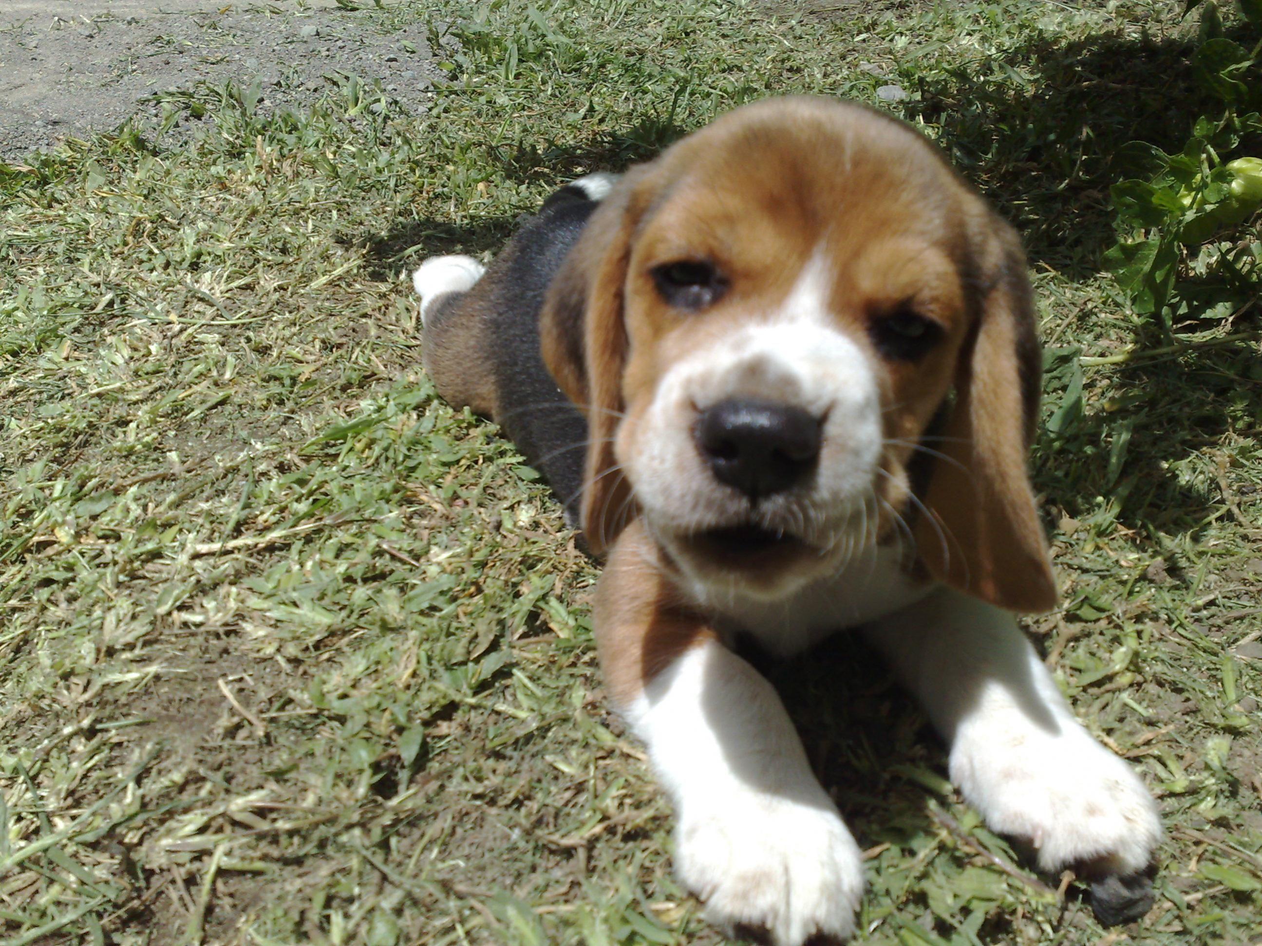 Beagle bebé.