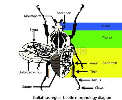 010f41bb514af8319a9e35594d02cef0 goliathus regius beetle diagram insect forms pinterest beetle diagram at bayanpartner.co