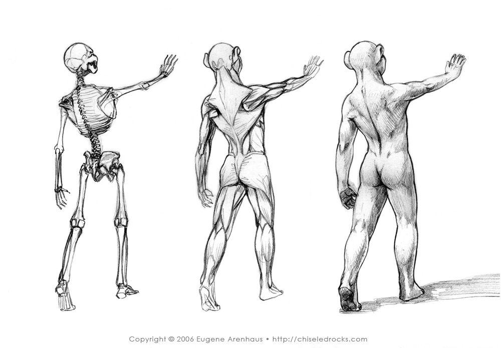 A Set Of Three Small Visual Anatomy Studies Skeleton Muscle