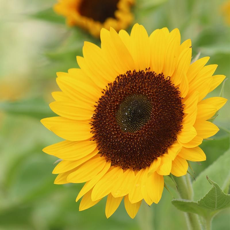 Sunflower Sunrich Summer Provence F1 Sunflower Types Of Plants Sunflower Seed Recipes