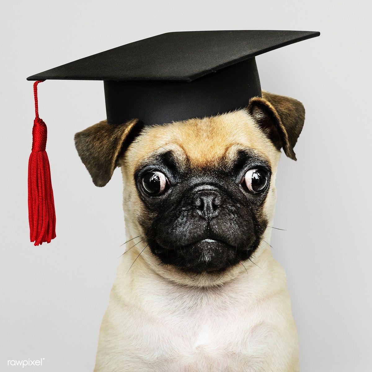 Download Premium Psd Of Cute Pug Puppy In A Graduation Cap 547733