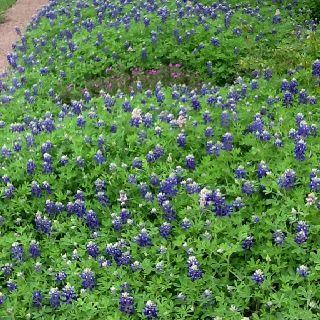 Blue Bonnets in Austin.