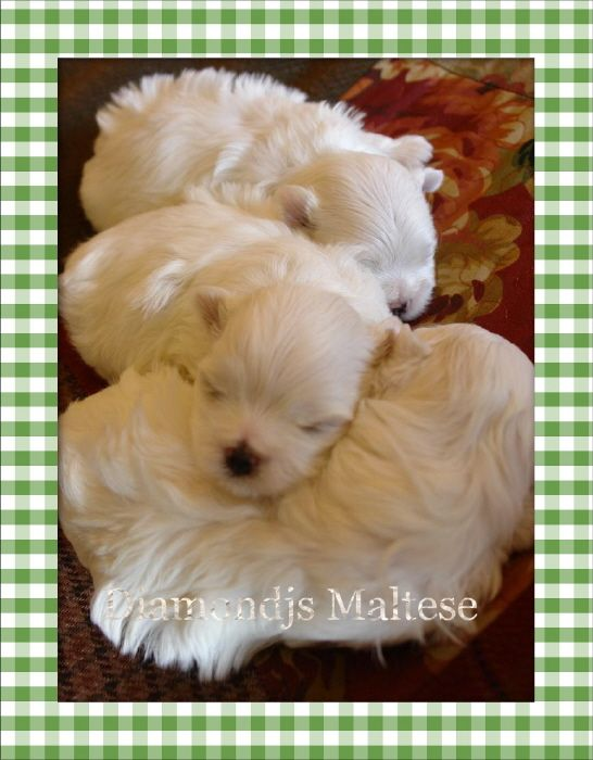 Maltese Puppies For Free Adoption Maltese Puppy Maltese Dogs Puppies