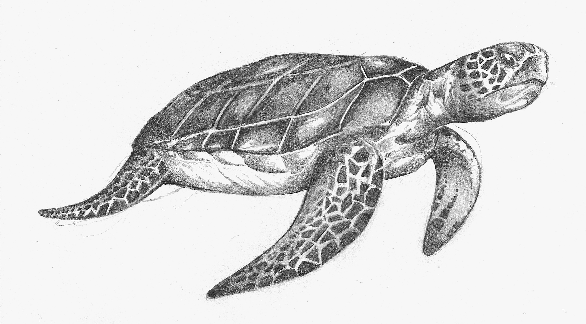 Line Drawing Sea Turtle : Sea turtle drawings the came out to draw