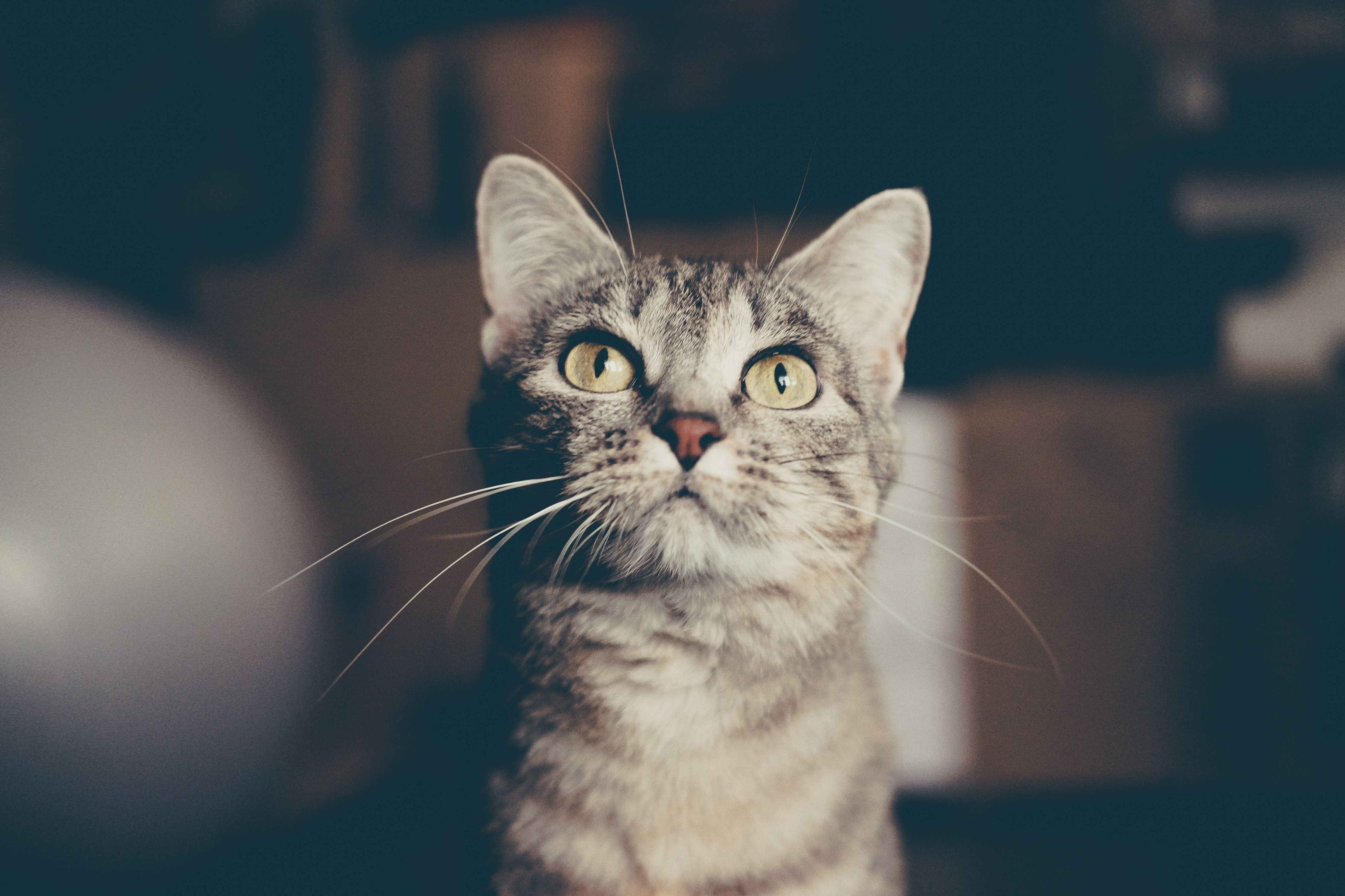 What You Are Eating Looks Delicious I Want To Eat Too Cats Tabby Cat Animals