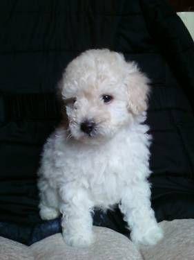 Toy Poodle Pups Born March 2 Akc Lovable Furry Friends