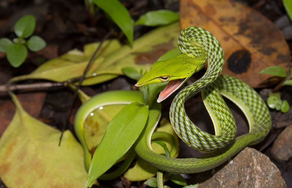 Green Vine Snake by Utkarsh Mahajan on 500px