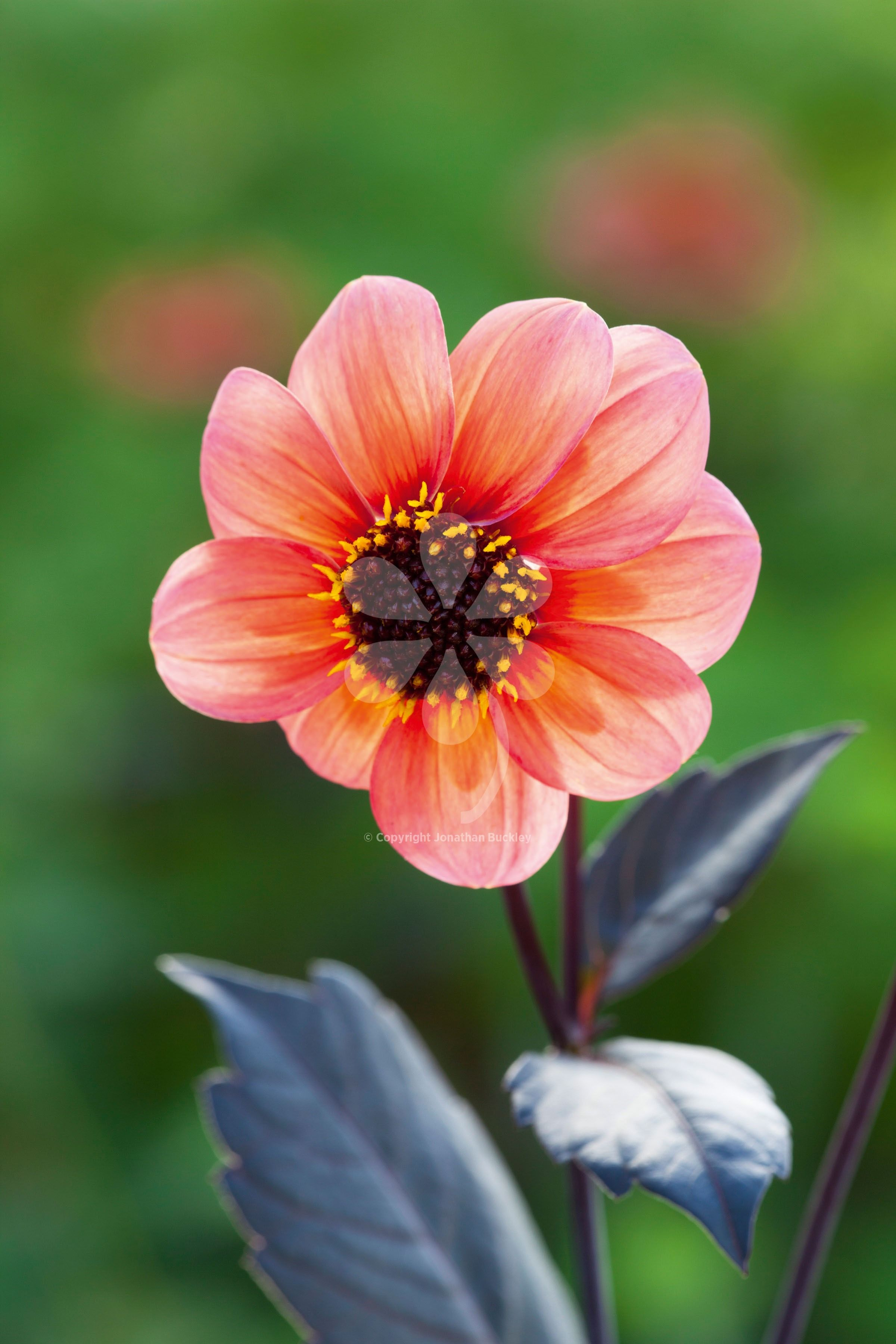 Dahlia happy single date has almost black stems and leaves and dahlia happy single date has almost black stems and leaves and centre to the flowers a beautiful contrast to the petals soft apricot izmirmasajfo