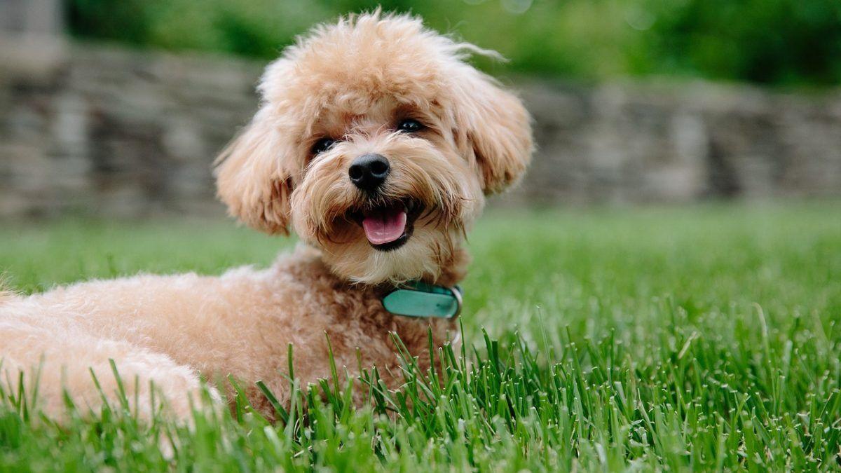 Dwerg- en Toypoedel | Karakter | Verzorging | Hondenrassen | De Nieuwe Hond  | Hondenrassen, Hypoallergene honden, Puppy's