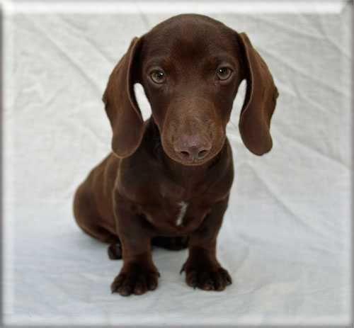 Miniature Dachshund Doxie Puppies Ma Ca Ri Wy Ri Nh Ok Pa Tx Fl Ca