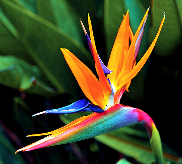 Long B Nguyen Paradise Flowers Birds Of Paradise Flower Birds Of Paradise