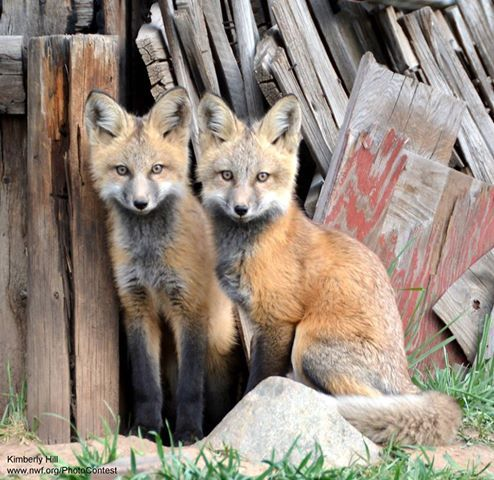 living responsibly with your wild and foxy neighbors