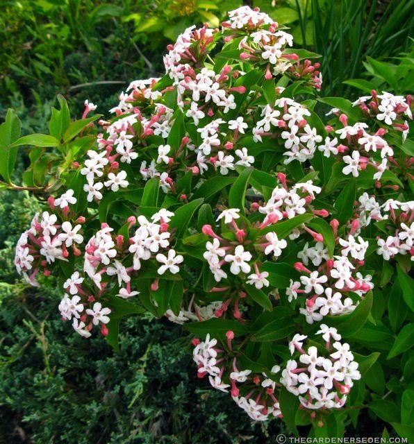 Fragrant Abelia Mosanensis Really Good Shrub Hardy Evergreen