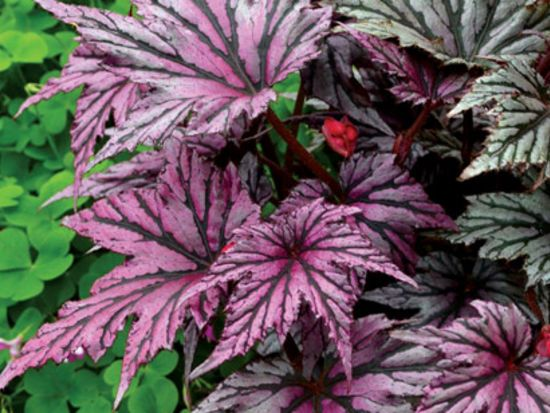 Japanese Begonia Kelowna Gardens Hardy Begonia Curated By