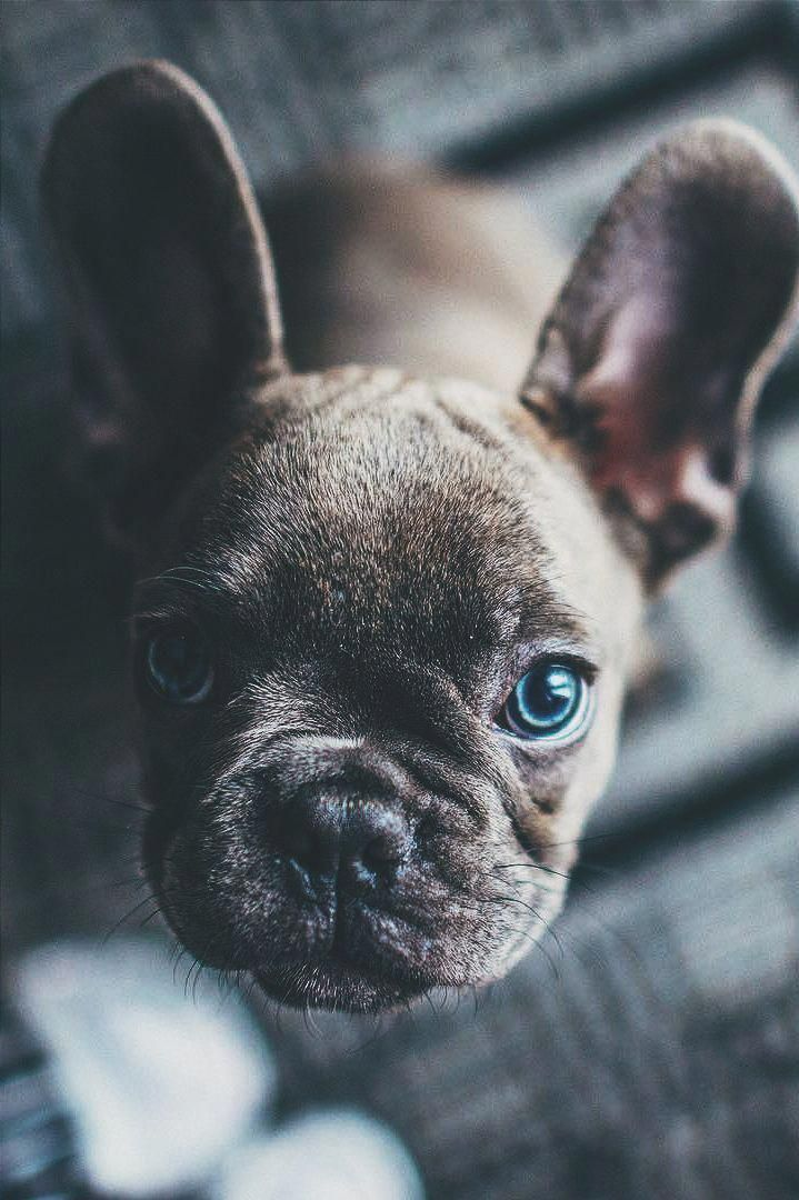 French Bulldog Playful And Smart In 2020 Bulldog Puppies French Bulldog Puppies Blue French Bulldog Puppies