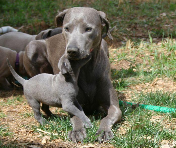Blue Lacy Dog Breeders Uk