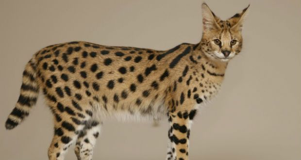 10 Largest Cat Breeds Cat Breeds Savannah Cat Savannah Chat