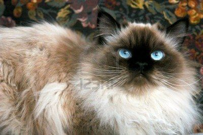 Portrait Of Seal Point Himalayan Cat Looking Up Russian Blue Cat Long Hair Cat Breeds Blue Cats