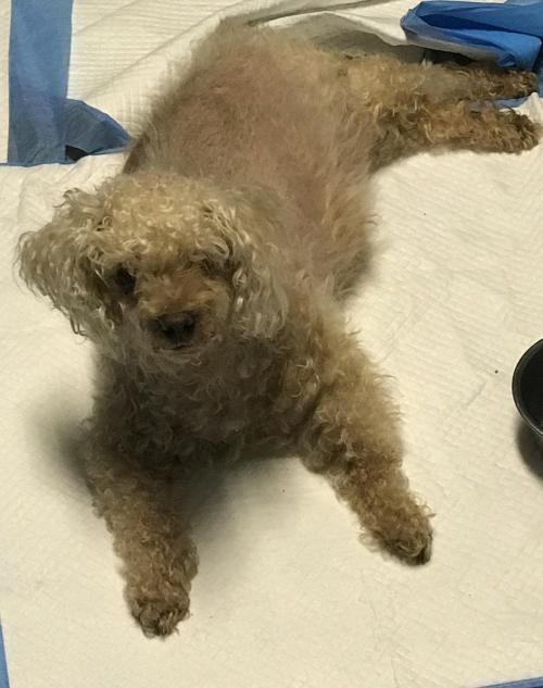 Adopt Maggie On Poodle Rescue Dogs Pet Adoption