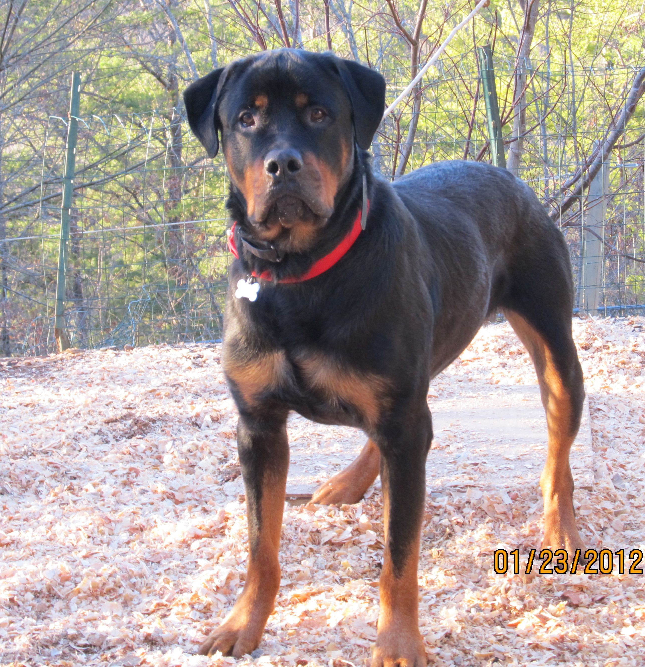 Bullmastiff Rottweiler Mix Stevieposed Jpg Rottweiler Mix Bull
