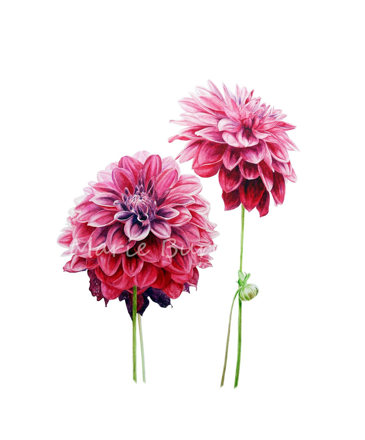 Dahlias | {art} Nature (vintage) | Pinterest | Watercolor ...