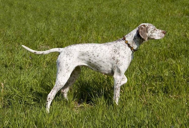 Braque du Bourbonnais Dog breeder, Dog breed info