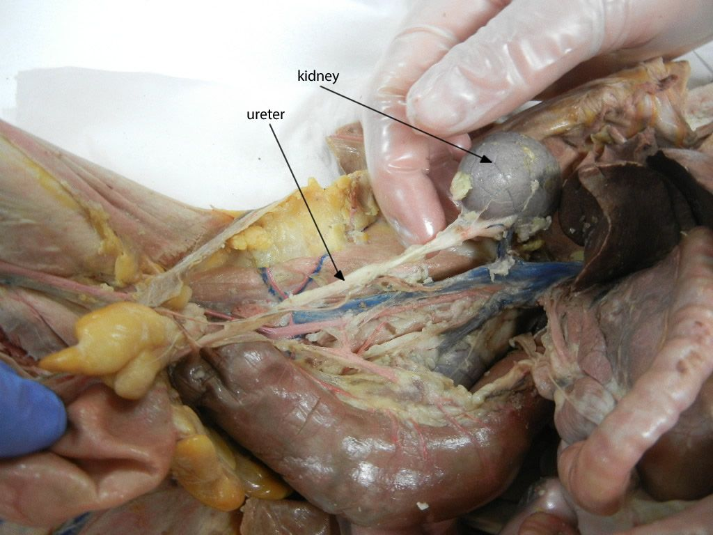 Cat Dissection Anatomy Corner Human Anatomy Study Pinterest