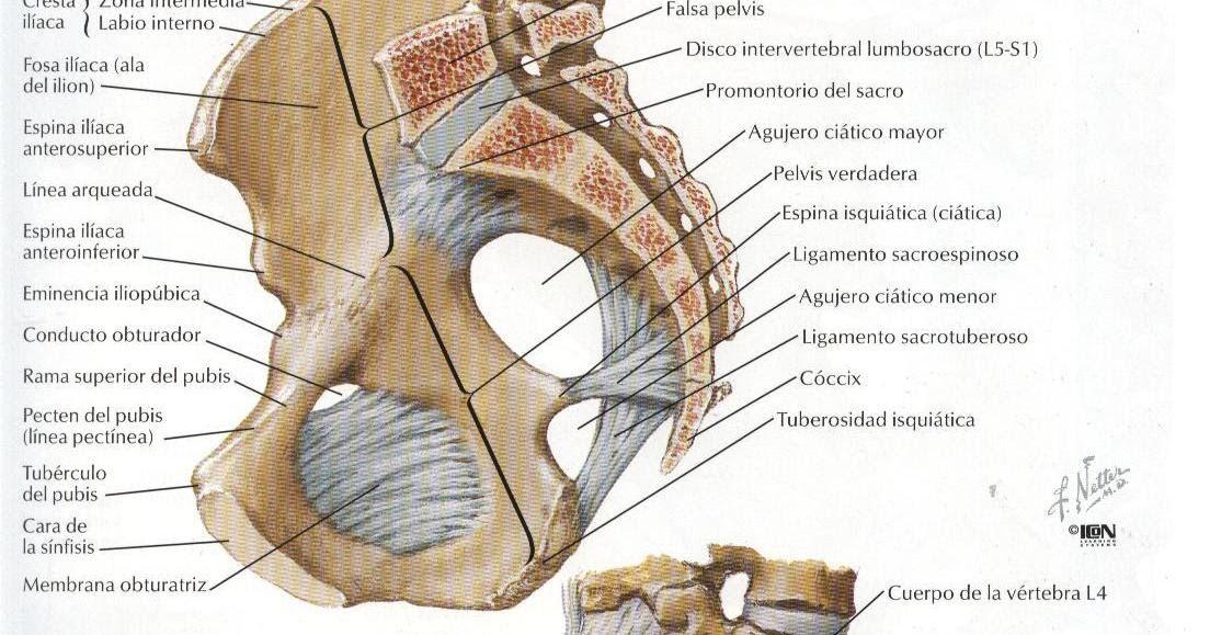Créditos a: Atlas de Anatomía Humana Netter 2da. Edición | anatomía ...
