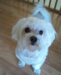Adopt Daniboy Adopted On Cute Baby Dogs Maltese Dogs Cute Dogs