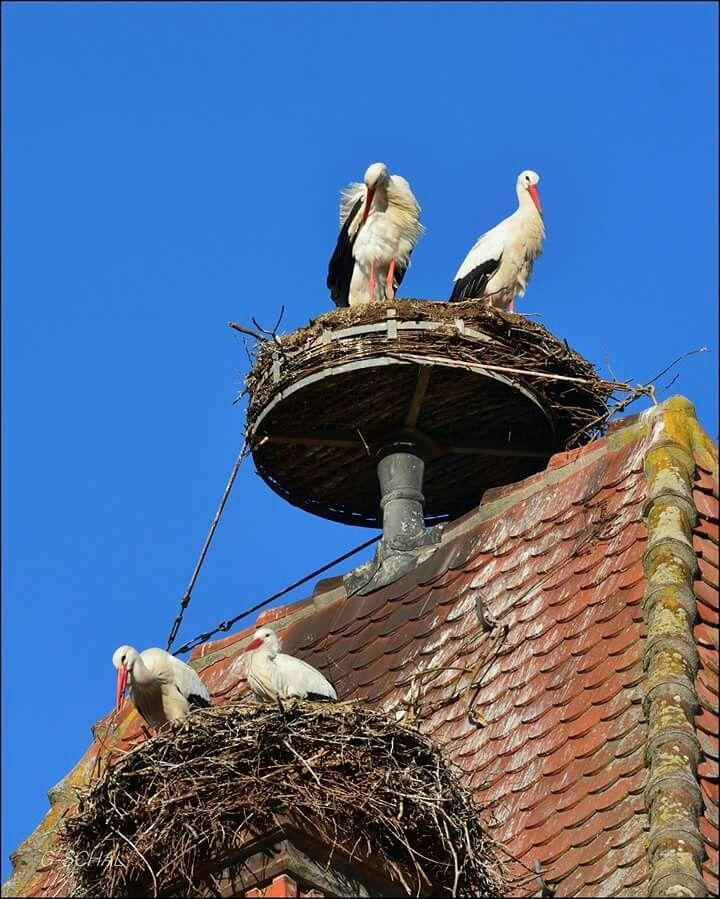 Publication De Vosges Alsace Photo La Saison Des Amours De Nos Cigognes Bald Eagle Animals Birds