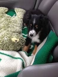 Image result for shel-aussie