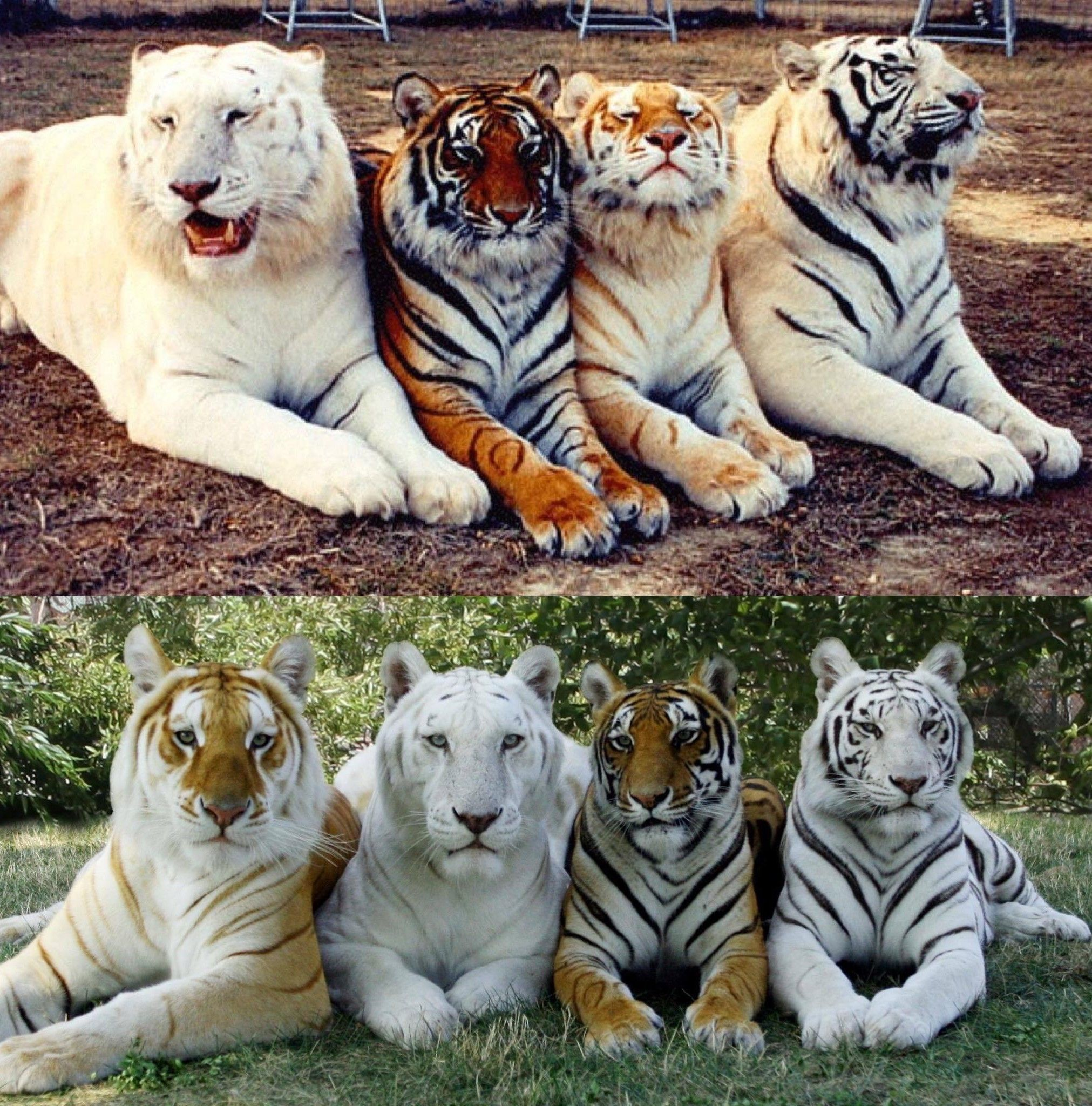 Pin by Tony Toranza on tigers in 2020 Animals, Pictures
