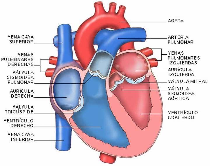 partes-del-corazon.jpg (720×568) | Nutrición animal | Pinterest ...