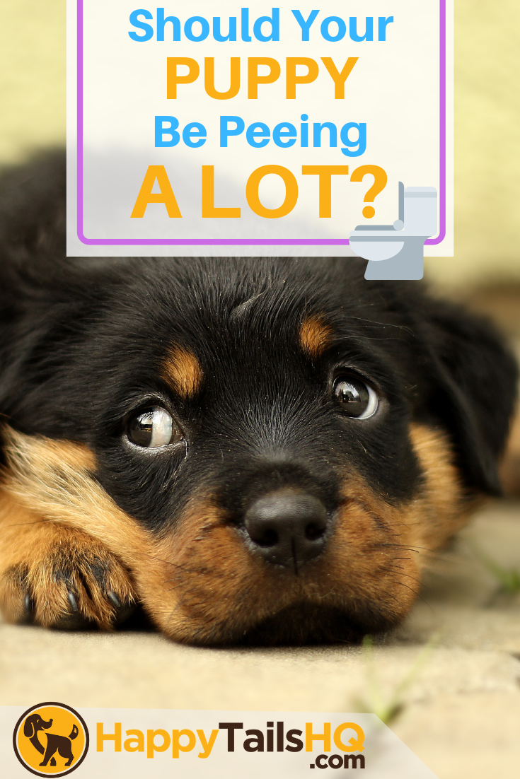 Why Does my Puppy Pee so Much? How Often Should They Pee