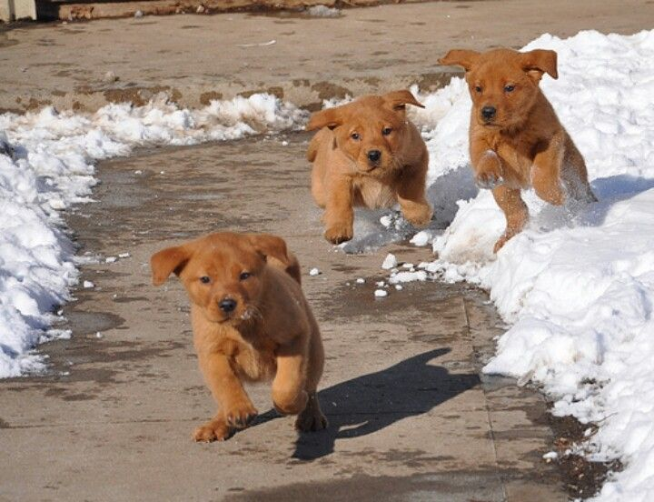 Fox Red Lab Pups Ooohhh Can T Wait For Wrigley To See The Snow