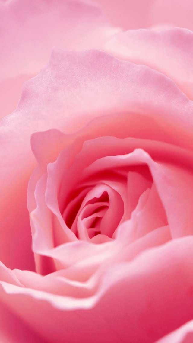 Pink Rose Flower Close Up iPhone 5 Wallpaper Samsung