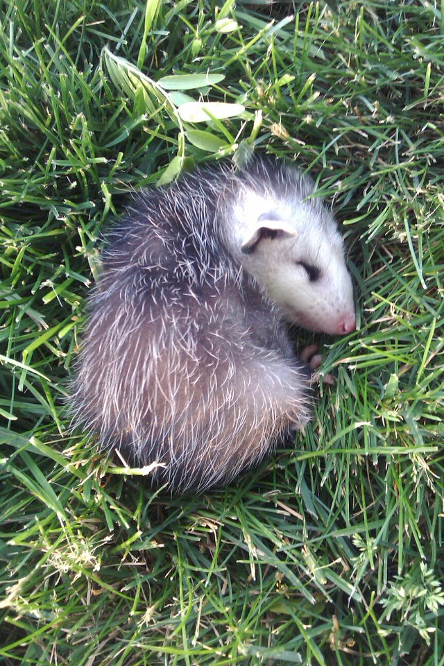 My Uncle Found This Cute Little Possum In His Yard Today ...