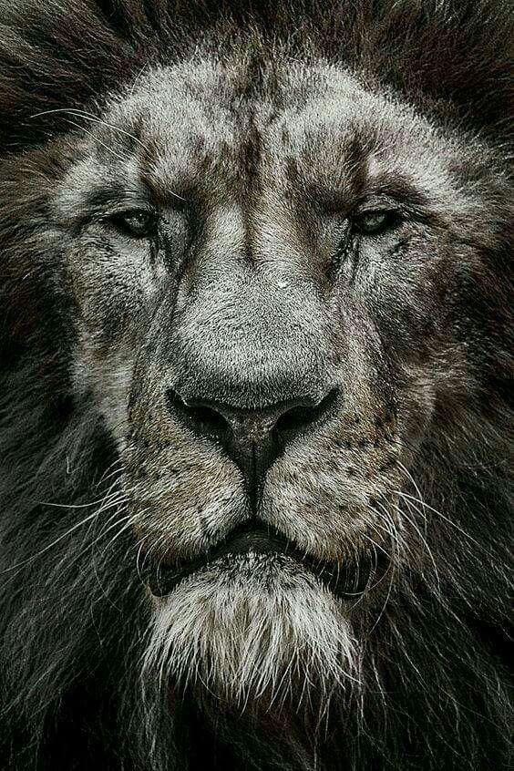 Вечера любимый, картинки льва в черно белом цвете