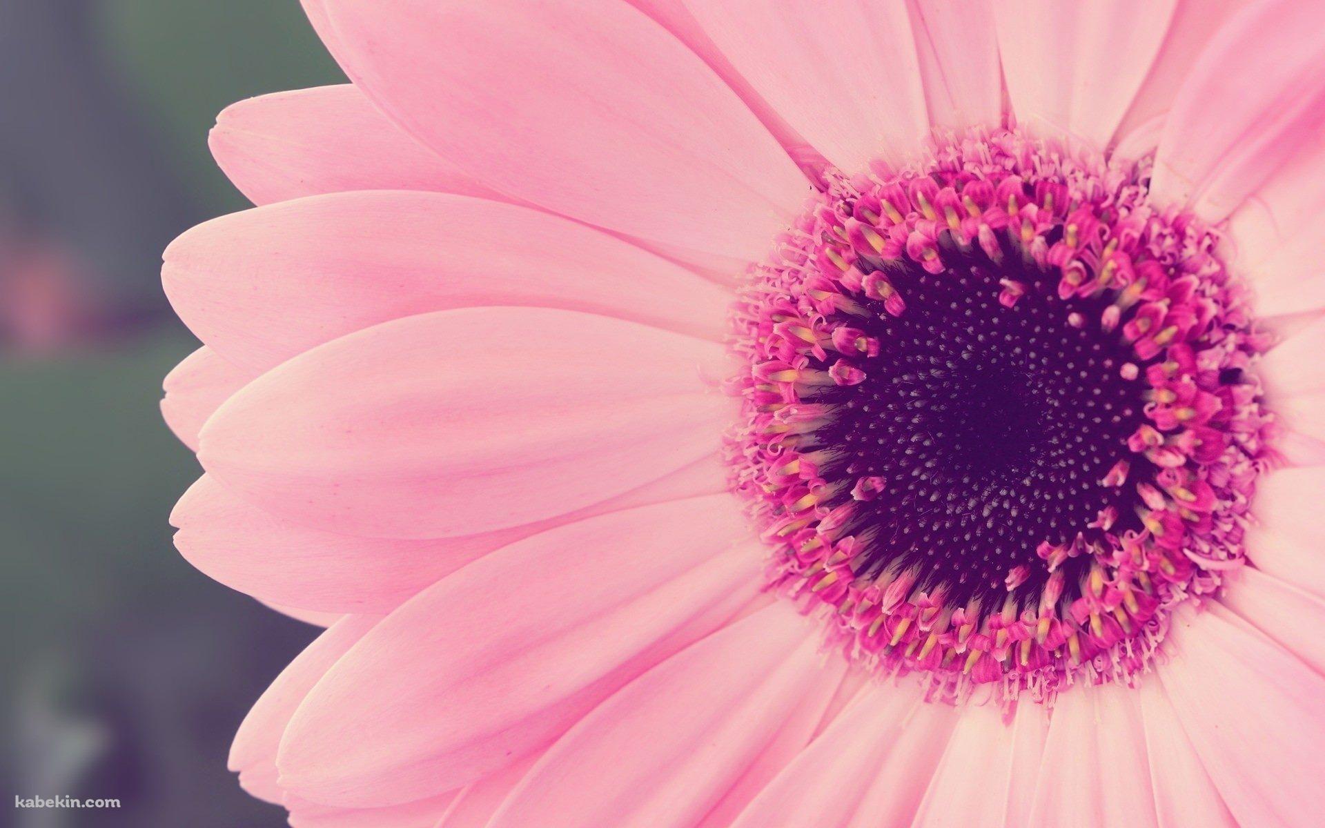 かわいいピンクのガーベラの壁紙 花 壁紙 壁紙 かわいい