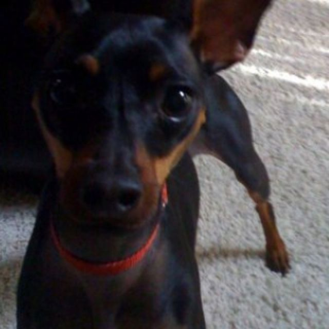 My Min Pin Tito With Images Miniature Pinscher Min Pin