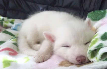 This Cute Domesticated Baby Red Fox Is The Sleepiest Pet Ever - Domesticated baby fox is the cutest and sleepiest pet ever