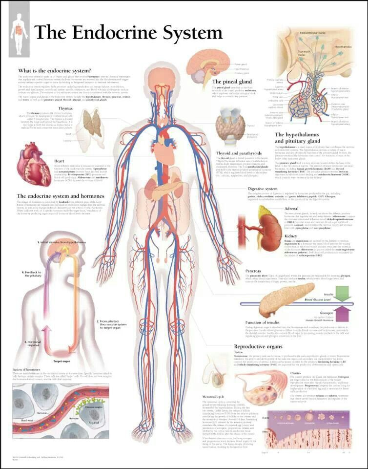Endocrine system | Anatomy & physiology | Pinterest | Health images ...