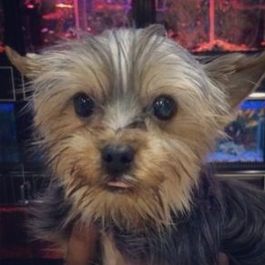 A Cutie Pie Yorkshire Terrier Is Available At Kangar Pet Shop In